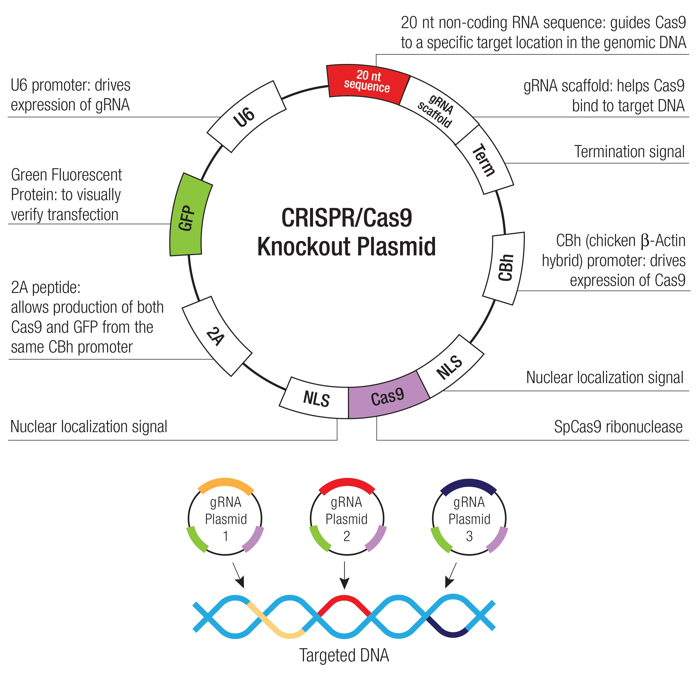 ANKRD2 CRISPR Knockout and Activation Products (m)