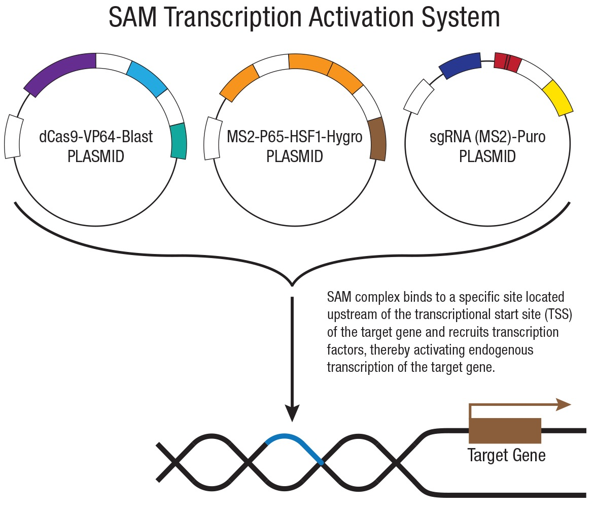 ANO1 CRISPR Knockout and Activation Products (h)