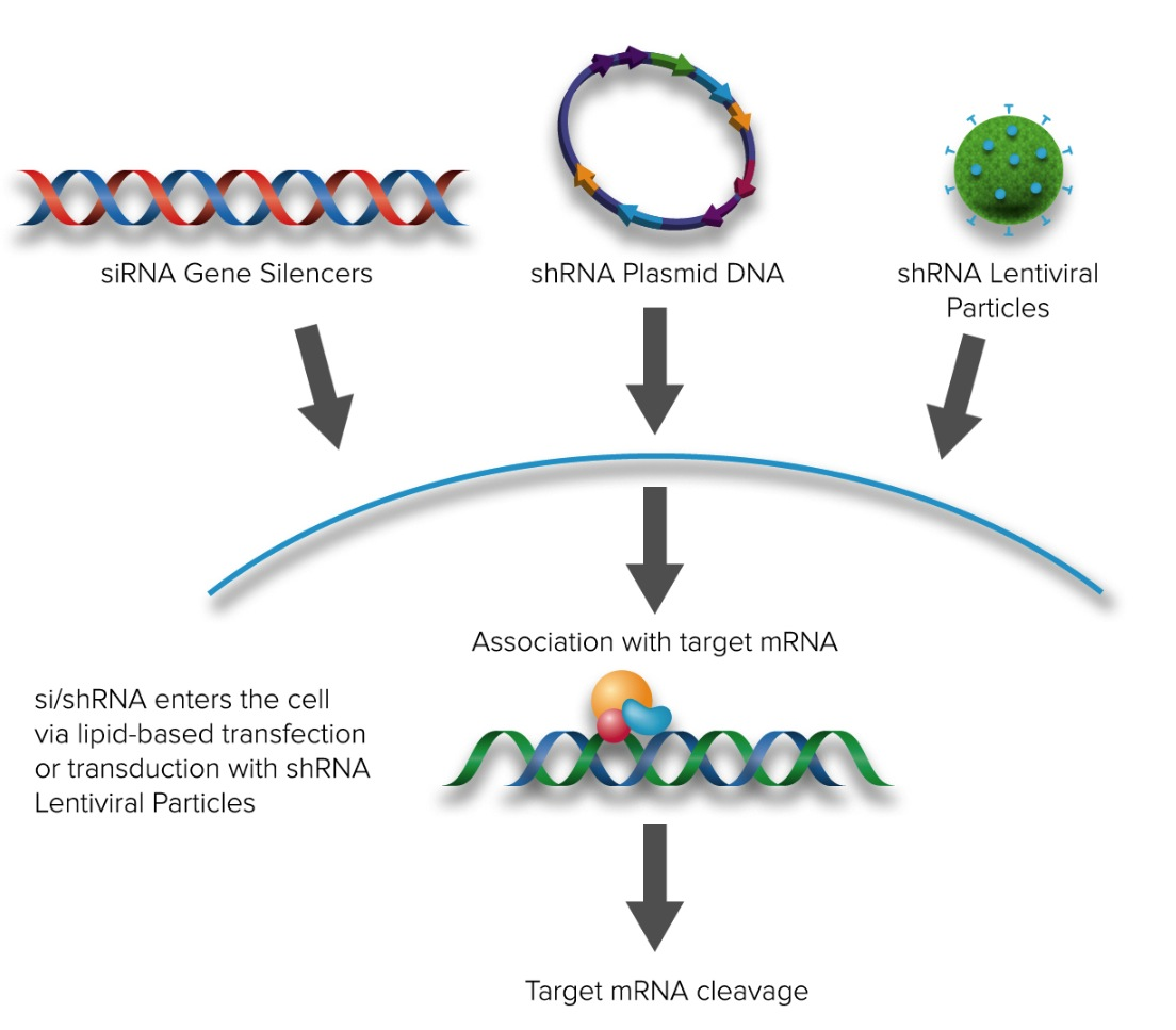 MRP4 siRNA (h), shRNA and Lentiviral Particle Gene Silencers