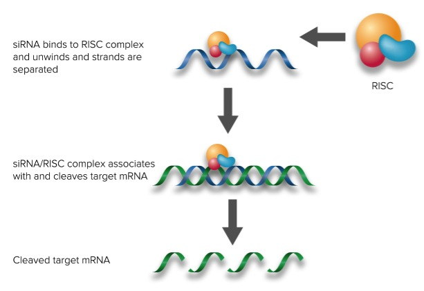 MASK-BP3 siRNA (h), shRNA and Lentiviral Particle Gene Silencers